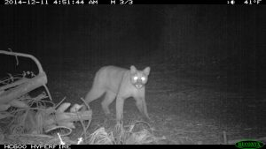 mountain-lion-on-san-vicente-redwoods-2014_courtesy-peninsula-open-space-trust-1